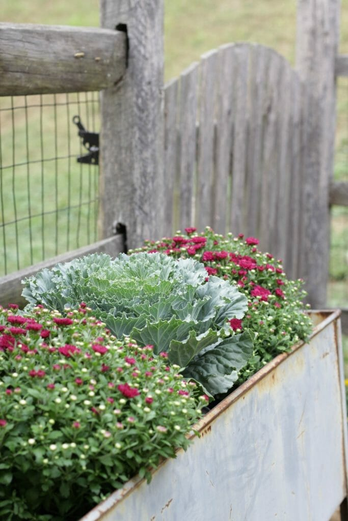 mums-cabbage-fall-planter