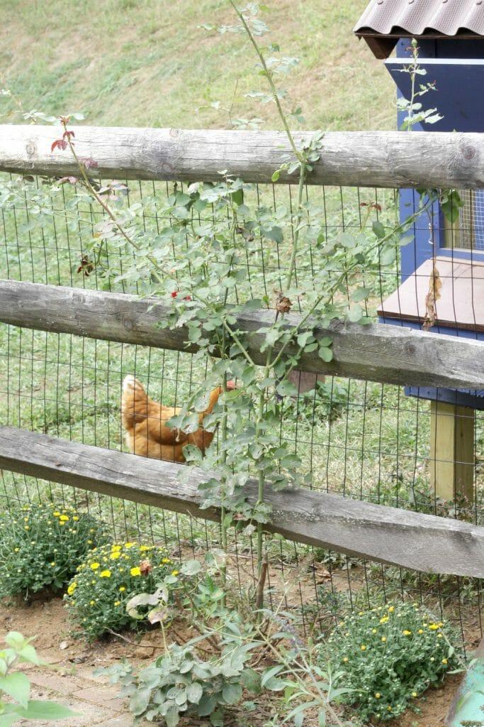mums-fall-chicken-coop