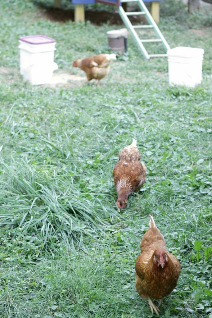 Red-Hens-Backyard