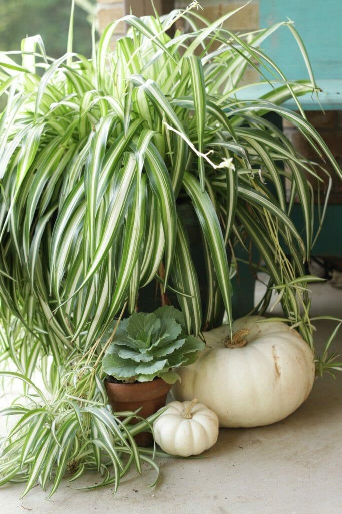 spider-plant-cabbage-pumpkins-fall-porch