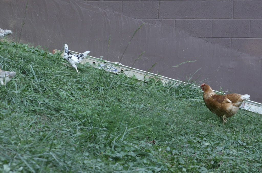 Star-Hen-Chasing-Pullets