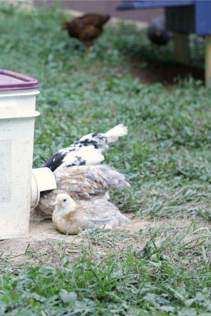 Three-Pullets-Feeding-Bucket