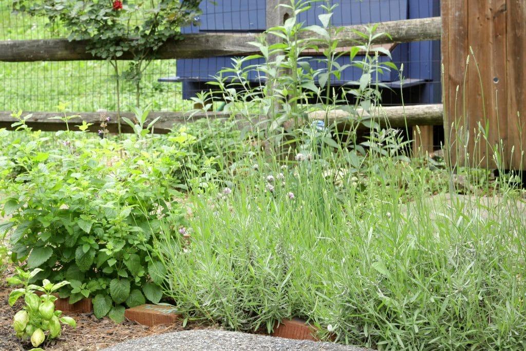 Lavender in Herb Garden