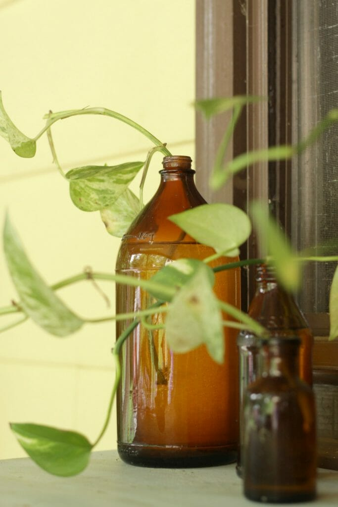 Propagating Pothos in Amber Glass Bottles